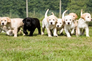 Guide dog puppies - new 3D soundscapes can help their work with the visually impaired
