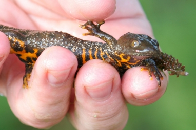 Happy newts will be good news