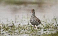 Redshank at Wallasea Island.Credit Andy Hay, rspb-images.com